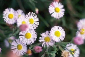 Aster Daisies